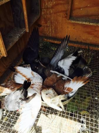 Newcastle Pigeons For Sale New South Wales Classifieds Ads